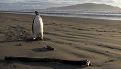 Britové na Antarktidě natočili 'tučňáka zloděje'