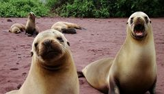 Vědci testují nemocné tuleně kvůli radiaci