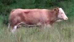 Kráva Yvonne vítězí. Hon začne zase na podzim