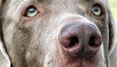 Psi prý dokážou čichem odhalit i rakovinu plic