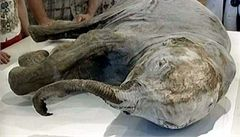 Ruští vědci nalezli v žilách mamuta tekoucí krev. Zkusí jej klonovat