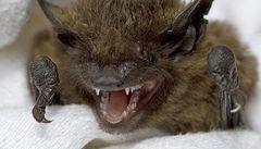 Za nebezpečné nemoci mohou i netopýři, říká studie