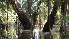 Naděje na léčbu rakoviny, tajná rostlina z Amazonie