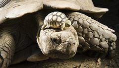 Na Galapágy se vracejí uměle odchované sloní želvy