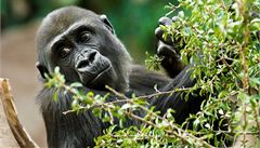 Gorila Moja porodila ve španělské zoo své první mládě