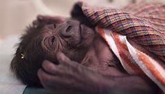 Gorilí mládě zůstane zatím v inkubátoru