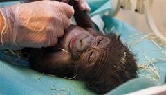 Gorilí sameček Tano už je ve Stuttgartu, sdělila zoo
