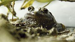 Změna klimatu způsobuje vymírání žab, tvrdí vědci