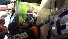 Adiós, Moja. Gorilí slečna odletěla do Španělska
