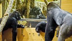 Gorila Moja se ve Španělsku pochlubila svým mládětem