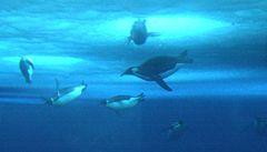 Tučňáci si měří čas pod vodou záběry křídly