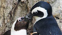 Tučňák 'homosexuál' opustil partnera. Našel si samičku