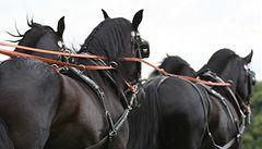 Kladrubští koně nesmí z Česka. V Evropě se vyskytla infekční anémie