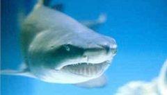 Australští vědci objevili hybridní druh žraloka
