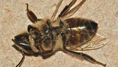 Vědci objevili škůdce, který zabíjí včely