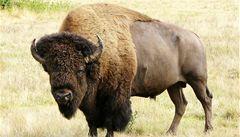 Bizoní maso je hitem, má méně tuku než hovězí