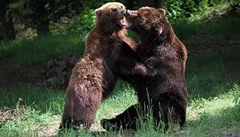 Medvědice Kamčatka porodila mláďata, asi dvě