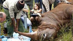 Při ochranářské akci uhynul nosorožec přímo před objektivy kamer