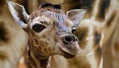 V pražské zoo se narodilo další žirafí mládě