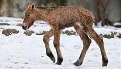 Hříbě koně Převalského uhynulo, asi ho ukopaly klisny