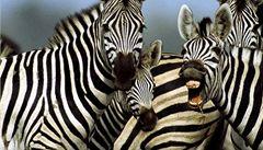 Proč mají zebry pruhy? Mouchám se z nich točí hlava
