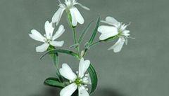 Rostlina ležela přes 30 tisíc let v ledu. Ruští vědci ji oživili a vykvetla