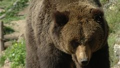 Ruská restaurace si pořídila medvěda. Zákaznici ukousl ruku