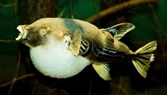 Ryba fugu: předražená pochoutka, která vás může zabít
