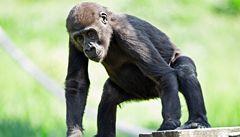 Tragédie v pražské zoo: gorilí sameček Tatu se oběsil