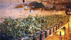 Zátah na další pěstírnu konopí: policisté odnesli na 400 rostlin