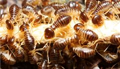 Čeští vědci odhalili tajemství obrany tropických termitů