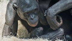 Vztah matka-dítě je důležitý i u šimpanzů bonobo, zjistili vědci