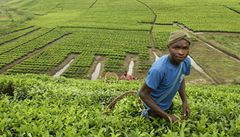 Cesta za fairtradovými pěstiteli čaje v Ugandě