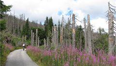 Kůrovec ustupuje, na Šumavě letos dřevorubci pokácí méně stromů