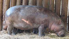 V královédvorské zoo zranil hrošík ošetřovatelku