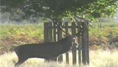 Muž se před jelenem v říji musel schovat na strom