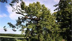 Strom roku 2012. Za rozsochatou lípou se vydejte na Blanensko