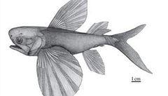 Paleontologové v Číně našli nejstarší létající rybu