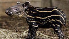 V pražské zoo se narodilo mládě tapíra