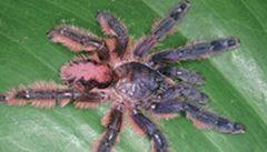Vědci objevili v Brazílii růžové tarantule