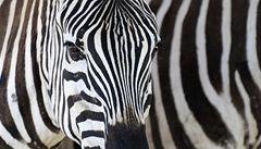 Jak klame příroda. Neviditelné zebry a smrt ukrytá v listech