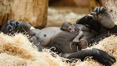 Pražská zoo končí s přenosem z pavilonu goril. Kvůli kritice diváků