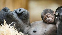 Projekt pražské zoo na ochranu goril získal mezinárodní záštitu