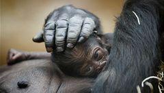 Gorilímu mláděti se daří, pohlaví bude známo začátkem ledna