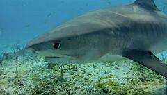 Australští vědci našli uhynulého žraloka. Zadusil se lachtanem