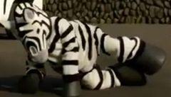 Japonská zoo nacvičovala chytání zvířat. Honili muže v kostýmu zebry