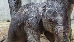 V pražské zoo se narodilo slůně. Poprvé v její historii