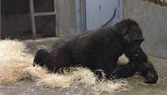 Gorilí samice Kamba oslavila 44. nalezeniny