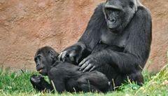 Gorila Kamba porod přežila, mládě zemřelo