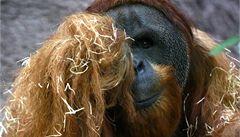 Kama, první orangutan narozený v ČSSR, zemřel v pražské zoo